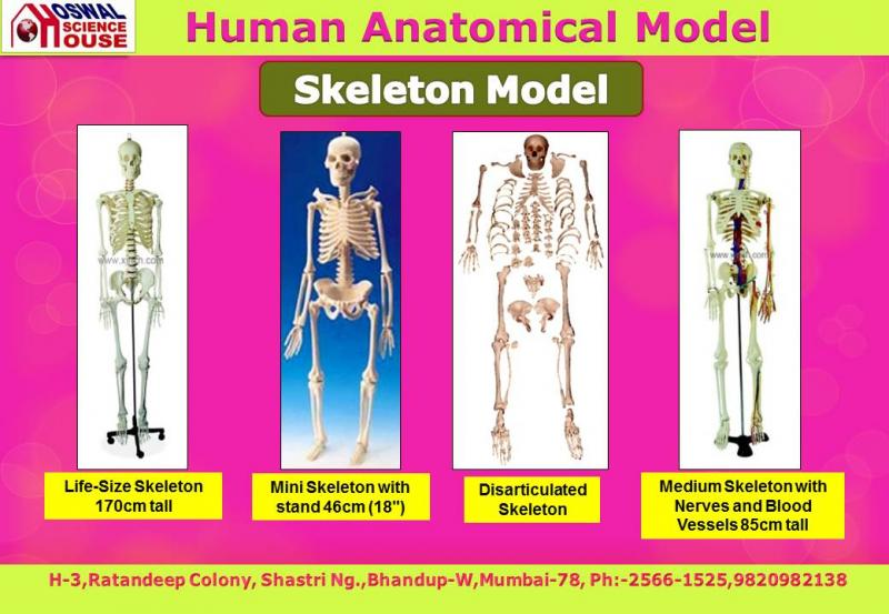 OSWAL SCIENCE HOUSE - PVC Human Anatomy 3D Models